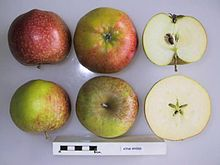 Cross section of King Byerd, National Fruit Collection (acc. 1954-051).jpg