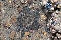 Cryptic sea star (Cryptasterina sp.).jpg