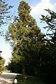 Cryptomeria japonica - La Hulpe (1).JPG