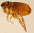 Ctenocephalides felis female ZSM.jpg