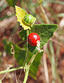 Cucumis maderaspatanus fruit.jpg
