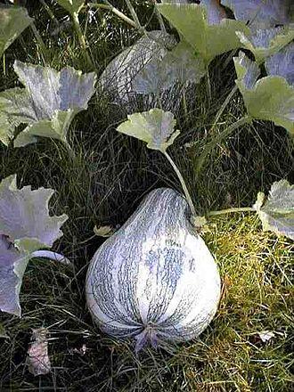 Cucurbita argyrosperma - Image: Cucurbita argyrosperma 1