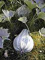Cucurbita argyrosperma 1.jpg