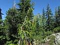 Cupressus nootkatensis at Bear Lake, Siskiyou County, California 2.jpg