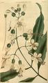 Curtis's Botanical Magazine, Plate 3049 (Volume 58, 1831).png