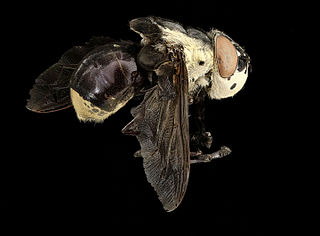 <i>Cuterebra fontinella</i> species of insect