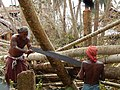 Cutting down an uprooted tree using traditional handmade tools.jpg