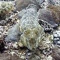 Cuttlefish (207800093).jpeg