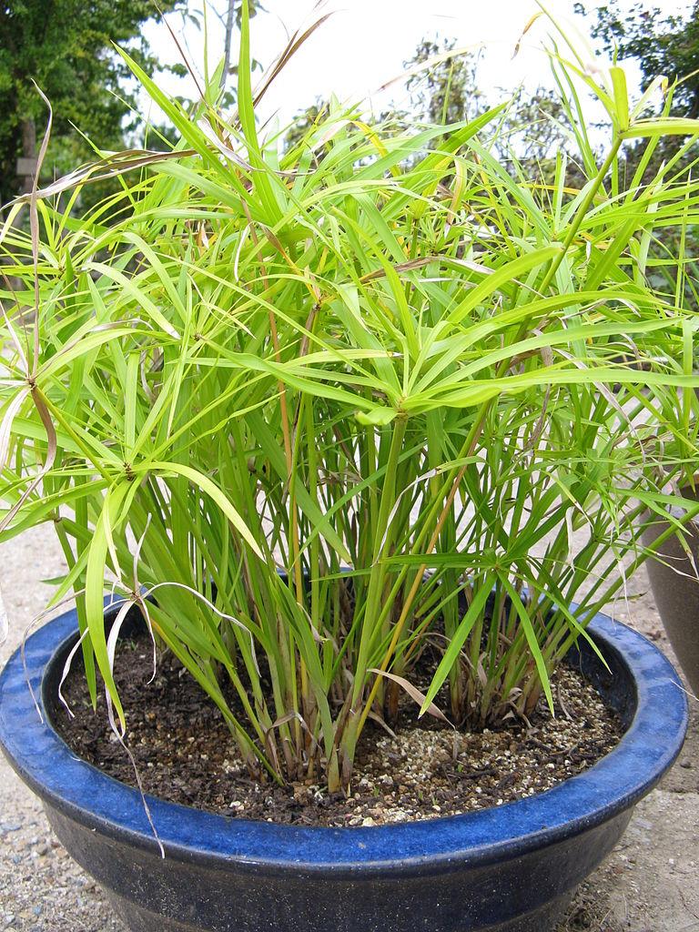 File cyperus wikimedia commons for Plante exterieur sans entretien