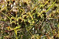 Cyperus plant (15176424407).jpg