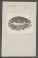 Cypraea arabica - - Print - Iconographia Zoologica - Special Collections University of Amsterdam - UBAINV0274 088 02 0025.tif