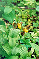 Cypripedium parviflorum.jpg