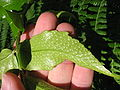 Cyrtomium falcatum (Sori).jpg