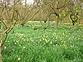 Daffodils at Biddick Hall - geograph.org.uk - 236926.jpg