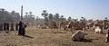 Daraw Camel Market (5).jpg