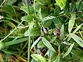 Dasineura lathyri on Meadow Vetchling Lathyrus pratensis (25866151418).jpg