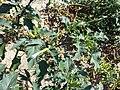 Datura stramonium var. tatula sl30.jpg