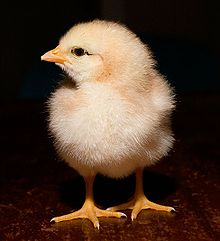 Day old chick black background cropped.jpg