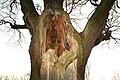 De 'Duizendjarige Eik' , opgaande boom - 375910 - onroerenderfgoed.jpg