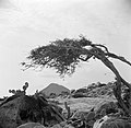 De Hooiberg op Aruba met op de voorgrond een watapana- of dividivi-boom, Bestanddeelnr 252-3432.jpg