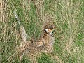 Dead fox - geograph.org.uk - 569194.jpg