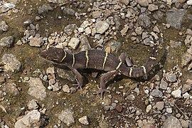 Deccan ground gecko (Cyrtodactylus deccanensis) 0920.jpg