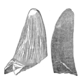 Deinosuchus rugosus tooth by Emmons.png