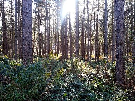 Delamere Forest - panoramio (4)