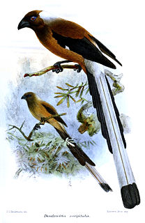 Sumatran treepie species of bird