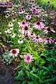Der Sonnenhut, lat. Echinacea, Echinacea purpurea, Pflanze.jpg