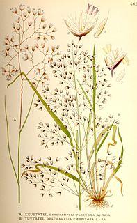 <i>Deschampsia</i> genus of plants
