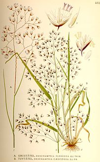 Deschampsia flexuosa.jpg