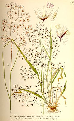 Draht-Schmiele (Deschampsia flexuosa), Illustration