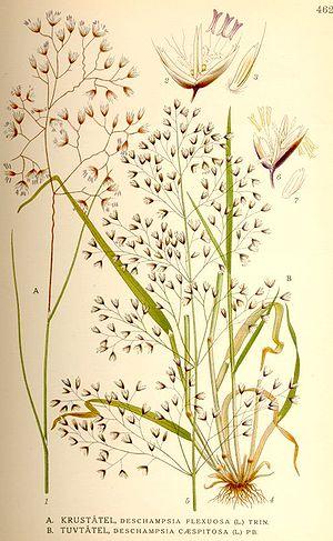 Deschampsia flexuosa - Image: Deschampsia flexuosa