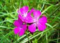 Dianthus Carthusianorum. (2).jpg