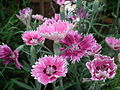 Dianthus barbatus or Sweet William from Lalbagh Flowershow - August 2012 4562.JPG