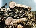 Dibaeis baeomyces-2.jpg