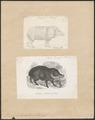Dicotyles labiatus - 1700-1880 - Print - Iconographia Zoologica - Special Collections University of Amsterdam - UBA01 IZ21900213.tif