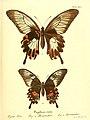 Die ausländischen Schmetterlinge in Abbildungen nach der Natur (Tab. XXV) (6012539330).jpg