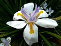 Dietes grandiflora, c, Springbokpark.jpg