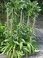 Digitalis parviflora (14432307583).jpg