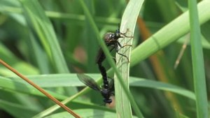 File:Dioctria atricapilla (copula).ogv