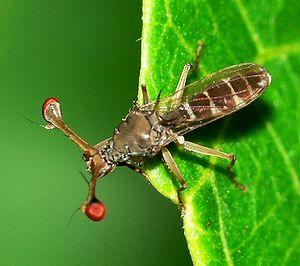 Eyestalk - A stalk-eyed fly.