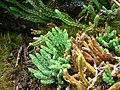 Diphasiastrum alpinum plant (02).jpg