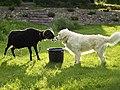 Dog and a ram.jpg
