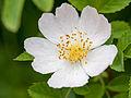 Dog rose (14397838796).jpg