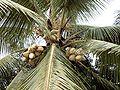 Dominikanische Republik- Palme.jpg