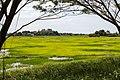 Donggongon Sabah Rice-paddy-01.jpg