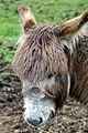 Donkey at Highland and Rare Breeds Park.jpg