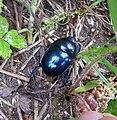 Dor Beetle. Geotrupes vernalis. Scarabaeidae. - Flickr - gailhampshire.jpg